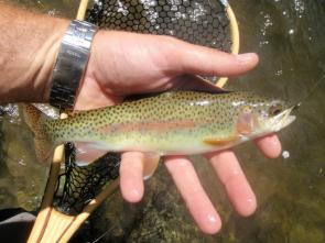turning-stones-fly-fishing-western-nc-wild-rainbow-trout-great-smoky-mountains-national-park