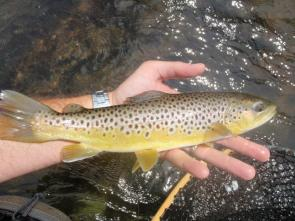 turning-stones-fly-fishing-wild-brown-trout