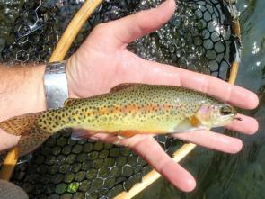 turning-stones-fly-fishing-wild-rainbow-trout-1