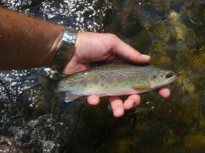 turning-stones-fly-fishing-wild-rainbow-trout-nc
