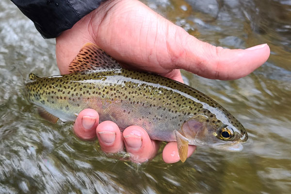 West Fork Pigeon River Turning Stones Fly Fishing